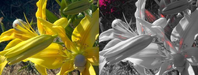 Lillies_Closeup