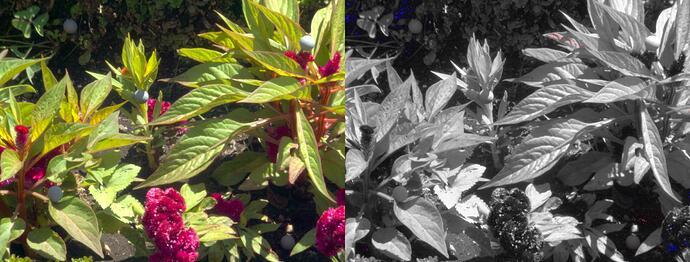 Bom_Jesus_Red_flower